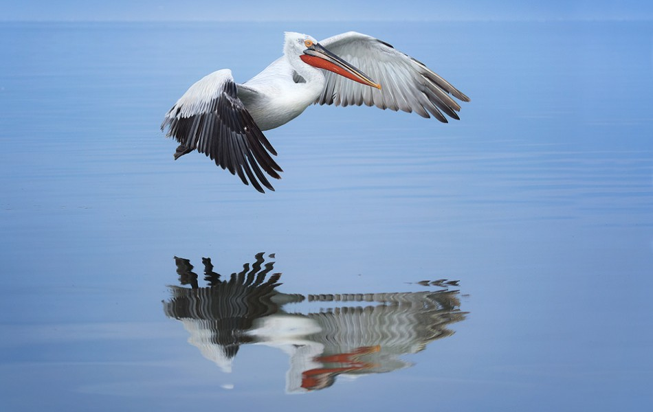 Dalmatian Pelican in flight over Lake Kerkini in Northern Greece. One of the most impressive aspects of these stunning birds was their gigantic wingspan. Adult pelicans can have a wingspan of over 11ft! This makes them one of the worlds largest flying birds. On our last day we were lucky enough to get an almost perfectly calm day for reflections. To make the most of it we headed out on a boat trip and were able to capture a range of images of the pelicans mid flight reflected in the lake.