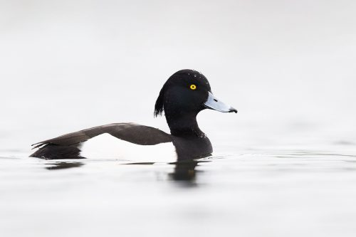 Tufted Duck on White
