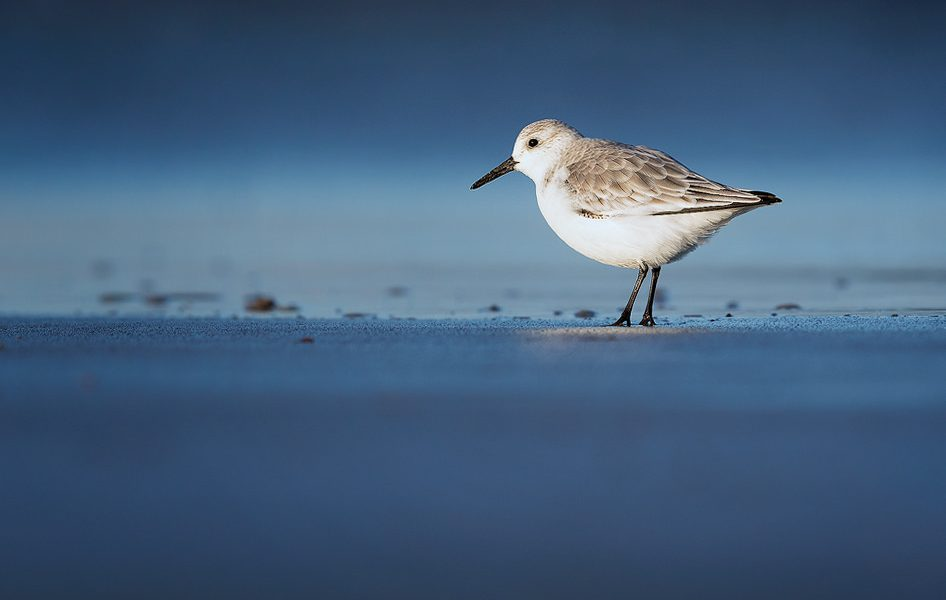 Sanderling standing in the surf with the bright blue sky reflected in the wash. Whilst out photographing grey seals over the winter months I spent some time on the mud flats photographing waders. By lying completely still and flat on the sand the birds eventually got used to me and began to hunt for grubs just a few metres away. This Sanderling seemed completely oblivious to me, passing within touching distance.