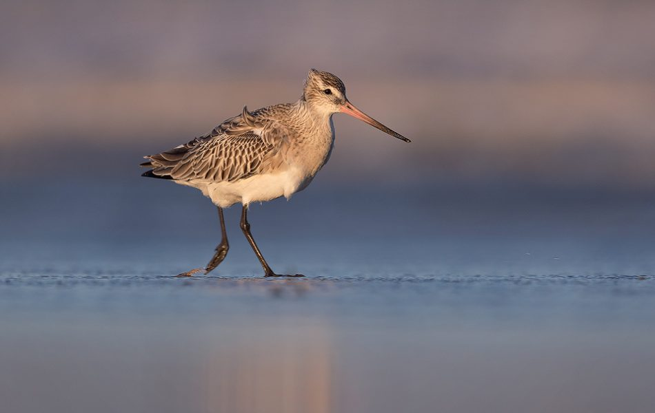 A bar-tailed godwit runs along through the surf on a sandy Lincolnshire beach. Over the winter months hundreds of thousands of these birds pass through our country from their breeding grounds in the artic regions of Scandanavia and Siberia.