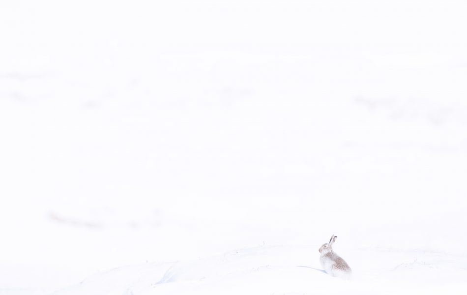 Mountain Hare Snowy Hills