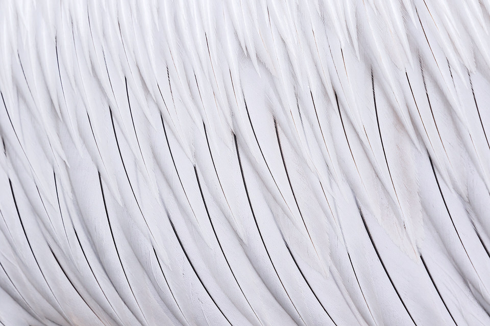 Dalmatian Pelican Feather Detail