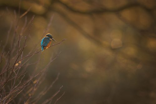 Kingfisher – Small in the Frame