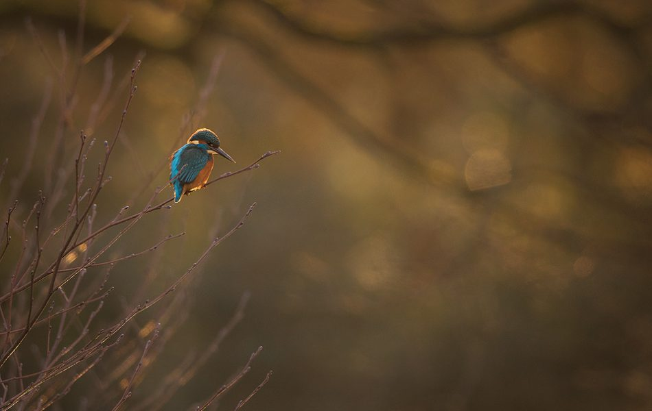 This may be a bit of a marmite image but I've been working on including more negative space and habitat in my wildlife images. This male kingfisher was illuminated beautifully by the last rays of the setting sun with the dappled backlight creating some nice bokeh.