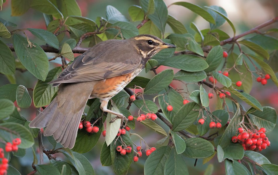 Redwing in Cotoneaster bush showing fanned out tail feathers. Redwings flock to the UK in the hundreds of thousands during the winter months, taking advantage of the berry surplus.
