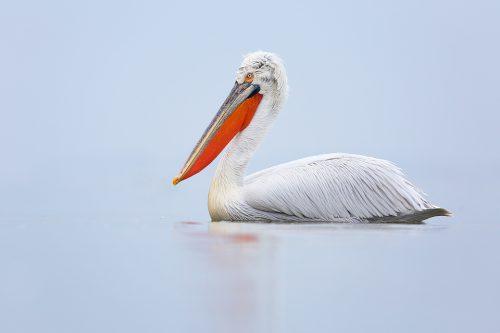 Dalmatian Pelican Portrait