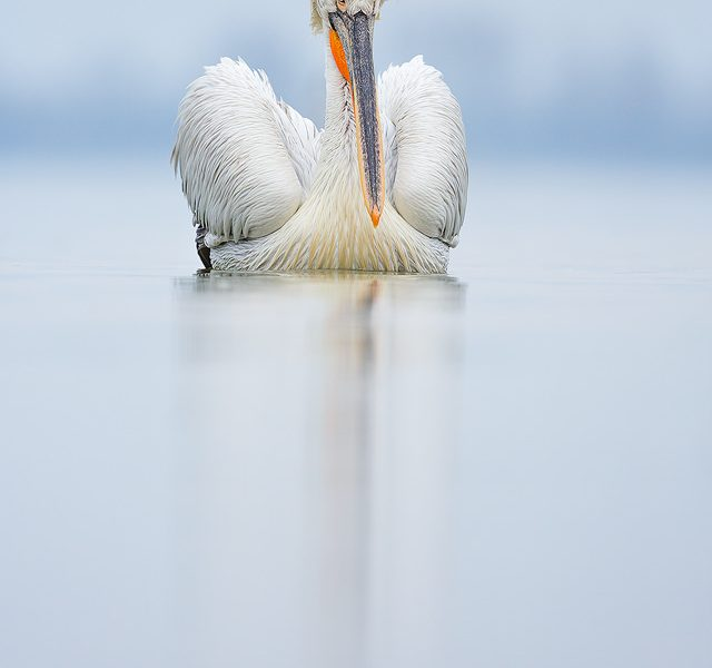 Dalmatian pelican in aggressive pose after seeing off a competitor. Despite the lack of sunshine during the week, we were blessed with several very calm days that were perfect for reflections.