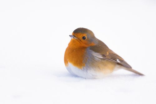 Robin in the Snow 2