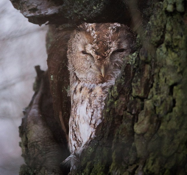 Tawny Owl resting in an old tree hollow, Peak District National Park. As I drove past I saw this adult bird sheltering from the blizzards in an old Oak tree.