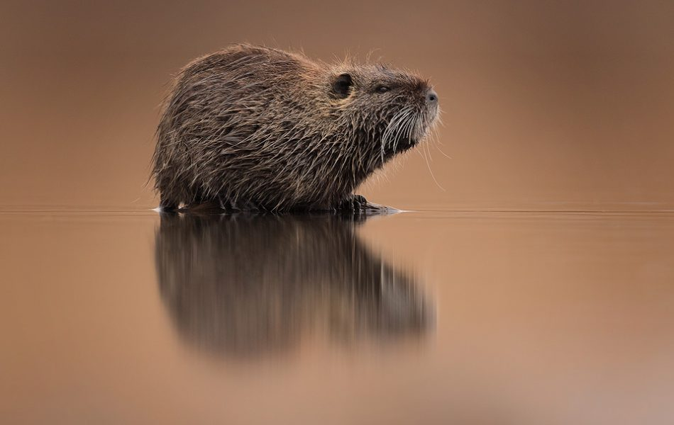 Whilst on the hunt for new and interesting local wildlife around Lake Kerkini we discovered a thriving population of Coypu. These large semiaquatic rodents can reach a metre in length and weigh up to 9kg. Originally native to South America, they have since been introduced around the world.