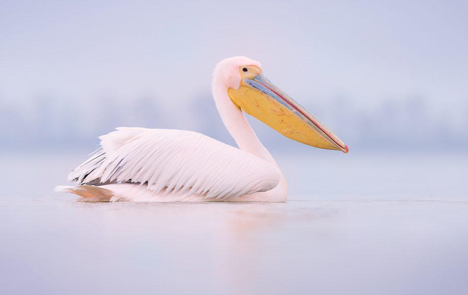 Great White Pelican or Rosy Pelican, Lake Kerkini Greece.