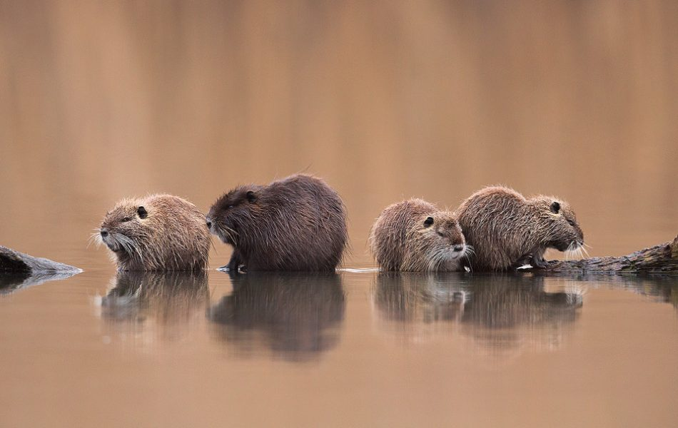 Coypu are highly sociable animals, often living in family units of 10+ individuals. This offered some fantastic opportunities to capture group images as they bonded on the old floating logs and rocks next to the reedbed.