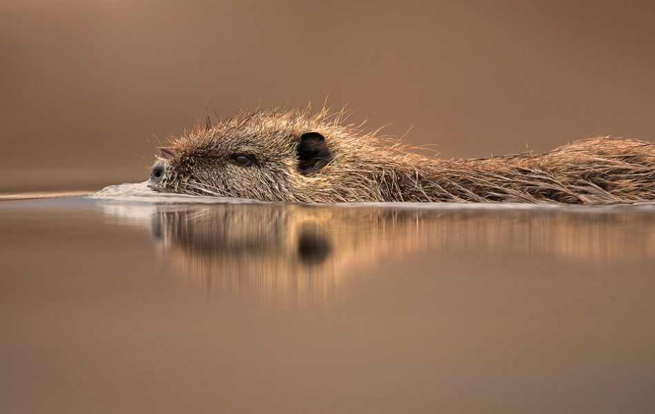 Coypu swimming through the calm waters of the reedbed near Lake Kerkini, Northern Greece. These web-footed rodents are much more agile in the water than on land and are able to stay submerged for as long as 5 minutes!