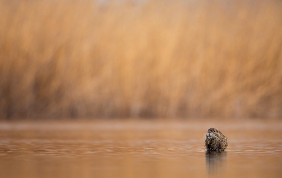 Nutria standing on a submerged log in front of the reedbed near Lake Kerkini, Northern Greece. Whilst on the hunt for new and interesting local wildlife around Lake Kerkini we discovered a thriving population of Nutria. These large semiaquatic rodents can reach a metre in length and weigh up to 9kg. Originally native to South America, they have since been introduced around the world.