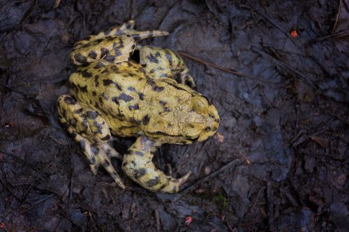 Common Toad From Above