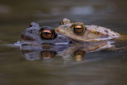 Mating Toads Reflection