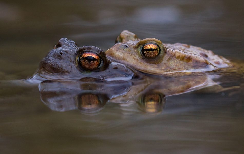 Mating common toads popping up for air, reflected in the still waters of the breeding pool. Sadly during mating a group of males can sometimes get so enthusiastic that they will literally drown the unfortunate females! These toads were particularly inquisitive when in the water, often swimming right up to me as I lay on the edge of the pool. Derbyshire, Peak District NP.