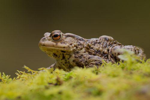 Common Toad Portrait