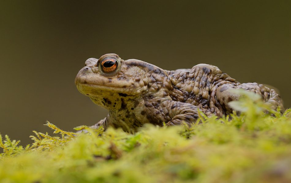 Common Toad Portrait. This toad sat quite happily on the mossy edge of the pool allowing me to focus stack 20 or so images ensuring I got the whole toad in sharp detail. Derbyshire, Peak District NP.