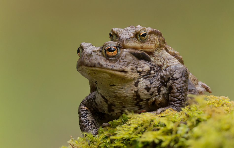 Common toads in mating embrace. Male toads often hitch a ride to the breeding pools on the backs of the much larger females. Whilst it may seem lazy, only around 1 in 5 males manage to breed, so this technique ensures the male has the best chance of mating with his chosen female. Derbyshire, Peak District National Park.