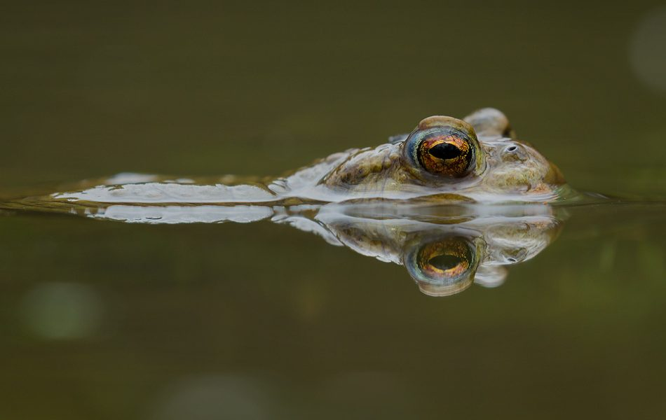 Common Toad reflected in the still waters of the breeding pool. These toads were particularly inquisitive when in the water, often swimming right up to me as I lay on the edge of the pool. Derbyshire, Peak District NP.