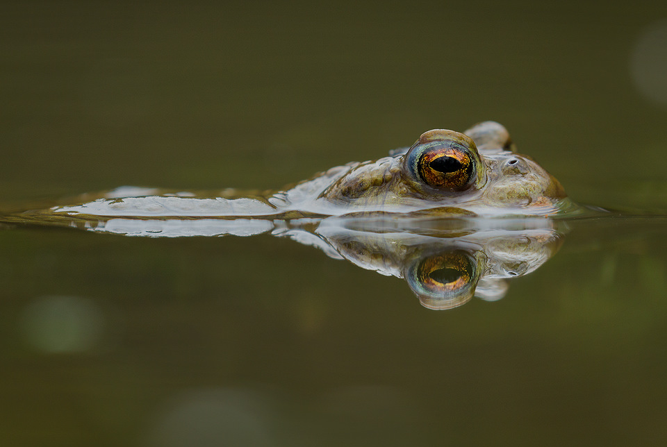 Toad Reflection