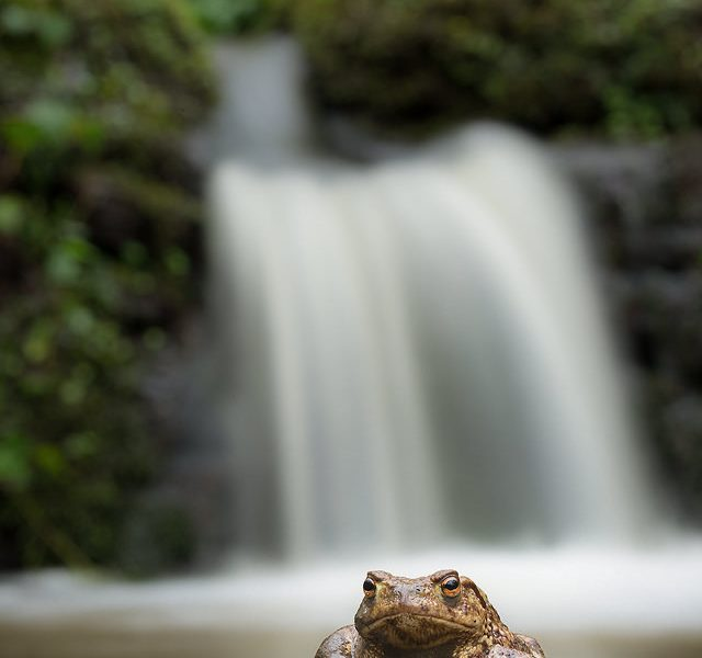 Common toad (bufo bufo) resting on a rock in front of a mossy waterfall. One good thing about all the rain during the time I spent with the toads was that it gave me the opportunity to get this image. A couple of days before it was just a trickle! Derbyshire, Peak District NP.