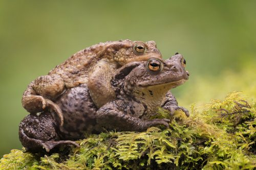 Common Toad Mating Embrace