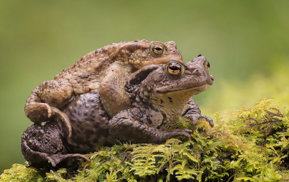 Common Toad Mating Embrace. Male toads often hitch a ride to the breeding pools on the backs of the much larger females. Whilst it may seem lazy, only around 1 in 5 males manage to breed, so this technique ensures the male has the best chance of mating with his chosen female. Derbyshire Peak District National Park.