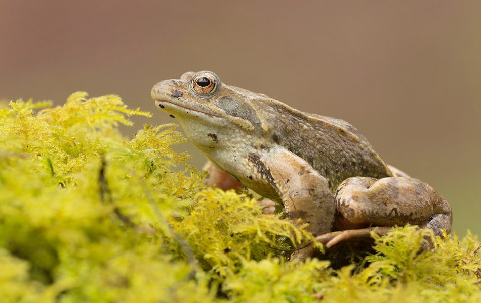I spotted this frog crossing a busy logging track, so I picked it up out of harms away and placed it on the mossy edge of the spawning pool. It sat happily for some time, allowing me to capture a few images before it hopped into the water. Derbyshire, Peak District NP.