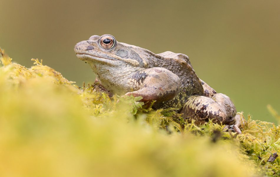 Common frog on mossy bank. I spotted this frog crossing a busy logging track, so I picked it up out of harms away and placed it on the mossy edge of the spawning pool. It sat happily for some time, allowing me to capture a few images before it hopped into the water. Derbyshire, Peak District NP.