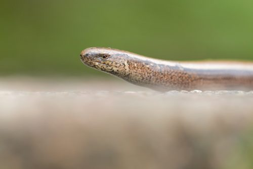 Slow-Worm Portrait 2