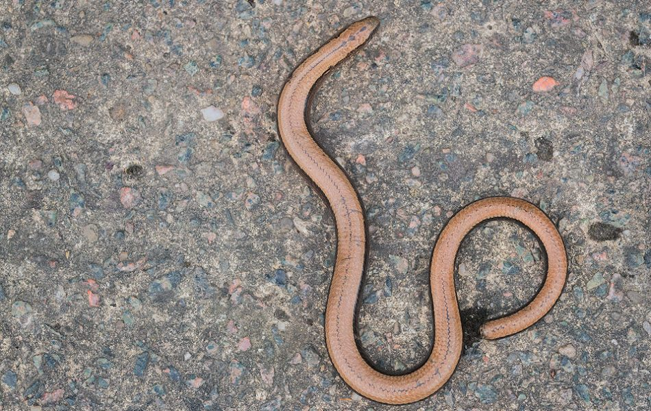 Slow-worm from above. Derbyshire, Peak District National Park. Every Spring for the last couple of years I have focused on adding to my British reptile and amphibian portfolio. Some species have been relatively easy to locate and photograph, but time and time again slow-worms had eluded me, despite extensive research and help from various experts. After countless unsuccessful trips again one year I finally found this adult slow-worm in a white peak dale. To many of you this may not be the most interesting or exciting subject but I'm thrilled to have finally seen one. Perseverance really does pay!
