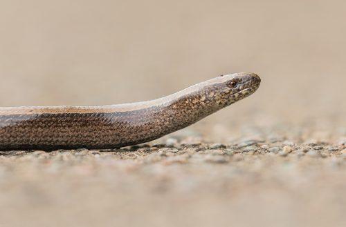 Slow-Worm Portrait