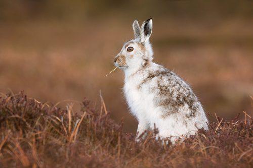 Feeding Mountain Hare