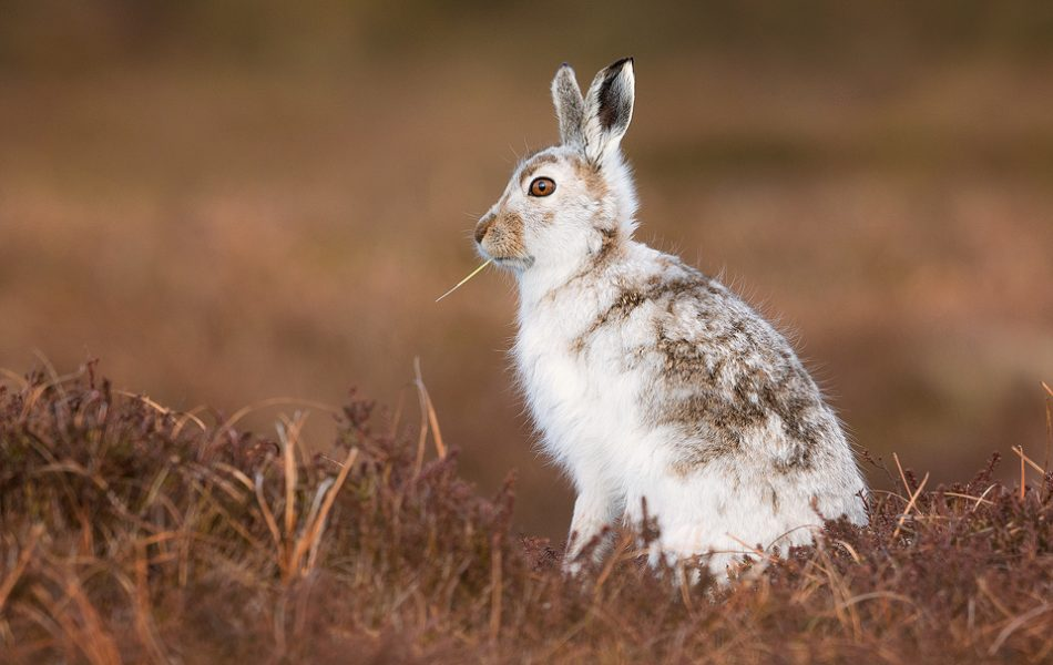 Mountain Hare Photography Workshop. Mountain hare feasting on the fresh grass shoots on a high moorland plateau in the Peak District National park. Here I used the low vegetation in front of me to frame the hare, contrasting the cold whites of the hare's fur and the warm browns of the heather.