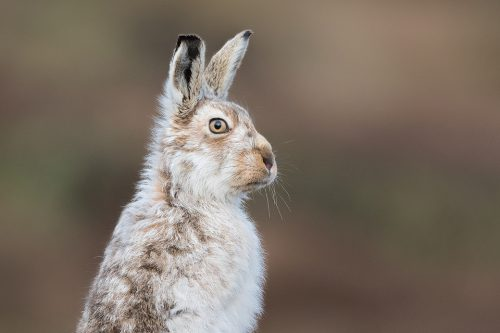 Mountain Hare Glare