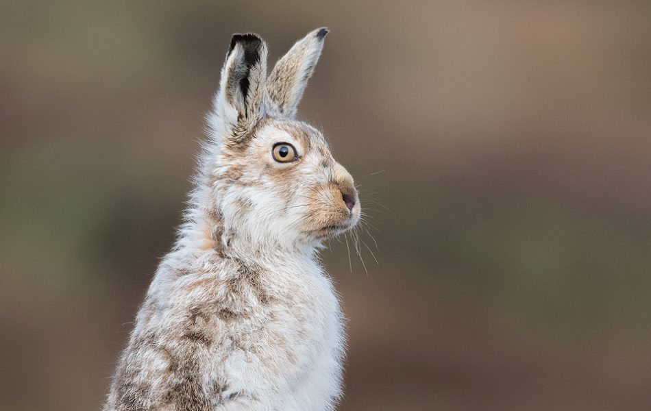 Mountain Hare Glare - This Mountain hare continually pestered one female until she'd had enough and gave him a good crack before he turned round rather grumpily to look at me! Poor guy! Peak District National Park.