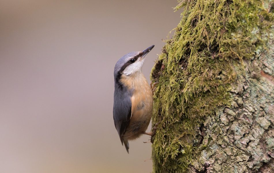 Nuthatch collecting moss for the nest from an old tree trunk.Derbyshire, Peak District National Park. Nuthatches are one of our most distinctive native birds, found almost exclusively in woodland. I followed a pair as they collected the moss from the gnarled old trees to build their nest.