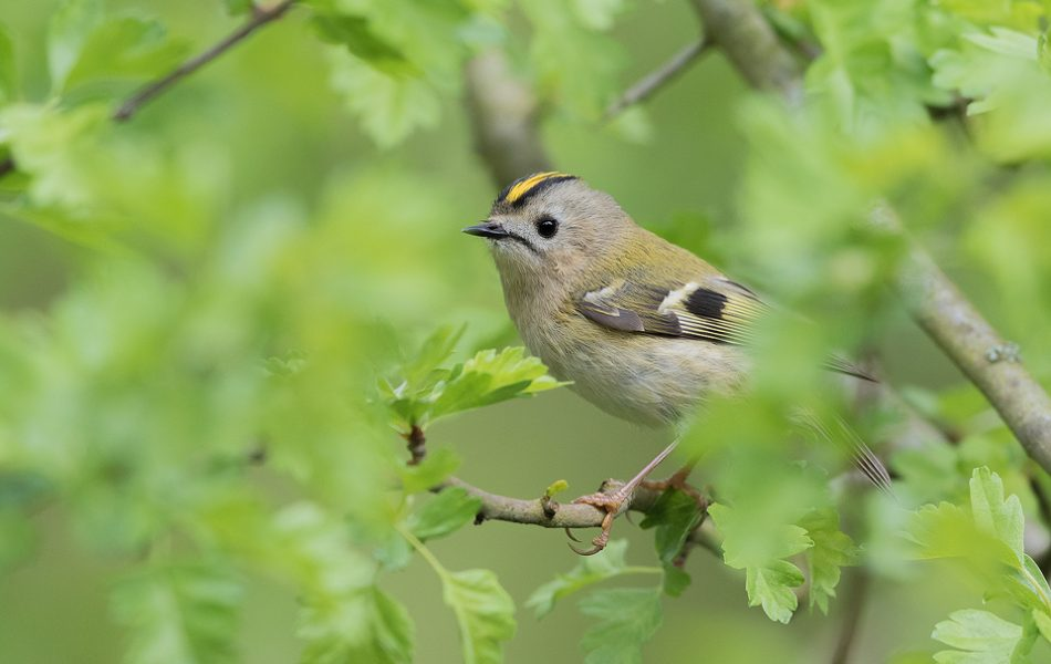 Goldcrest photographed through hawthorn leaves Derbyshire, Peak District National Park. The goldcrest is the UK's smallest bird, along with the rarely seen firecrest. Despite their tiny size they are full of character and are often seen singing with their distinctive crest raised.