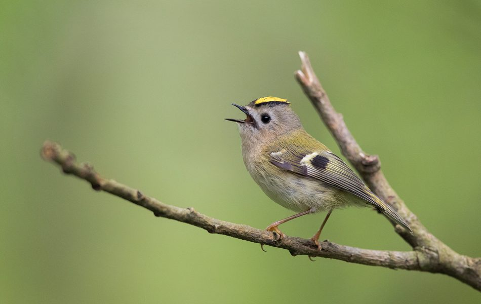 Singing Goldcrest. Derbyshire, Peak District National Park. The goldcrest is the UK's smallest bird, along with the rarely seen firecrest. Despite their tiny size they are full of character and are often seen singing with their distinctive crest raised.