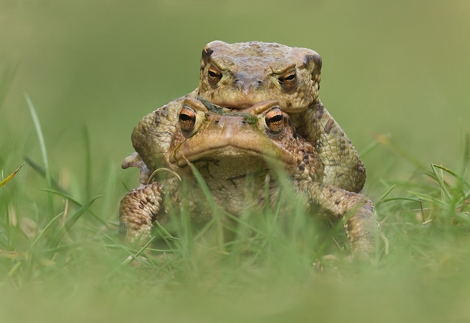 Toads in Mating Embrace