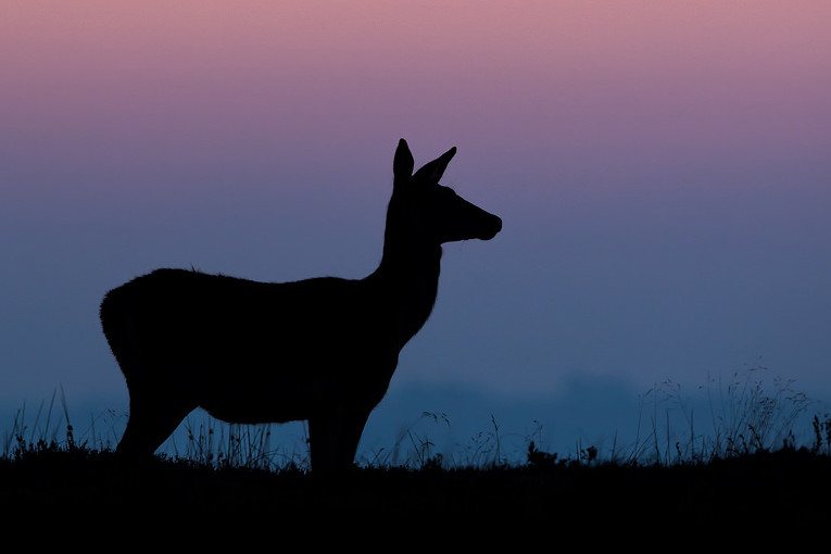 Red Deer Doe Silhouette, Peak District National Park - Deer Photography Workshop.