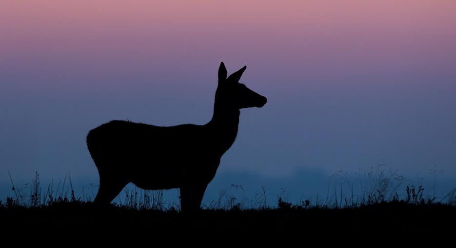 Red Deer Doe Silhouette, Peak District National Park - Deer Photography Workshop.