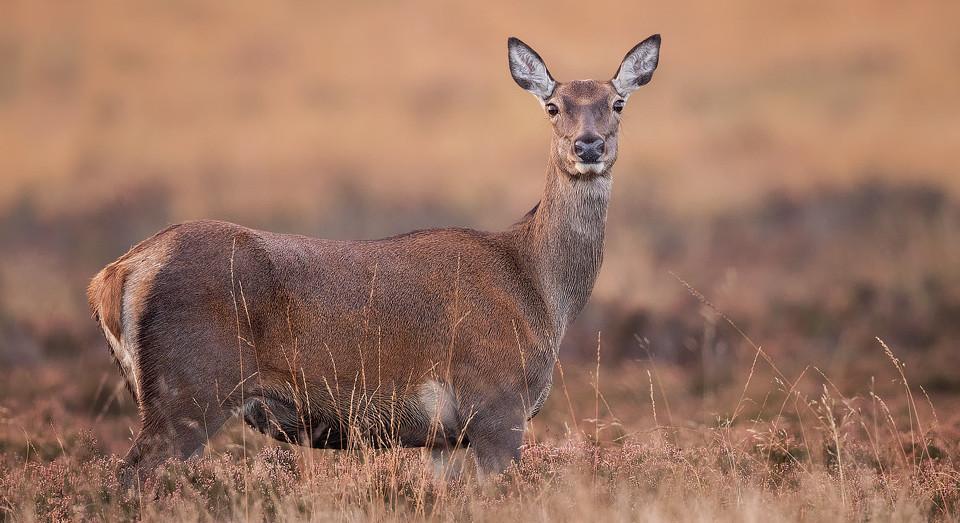 Red Deer Doe, Peak District National Park - Deer Photography Workshop.