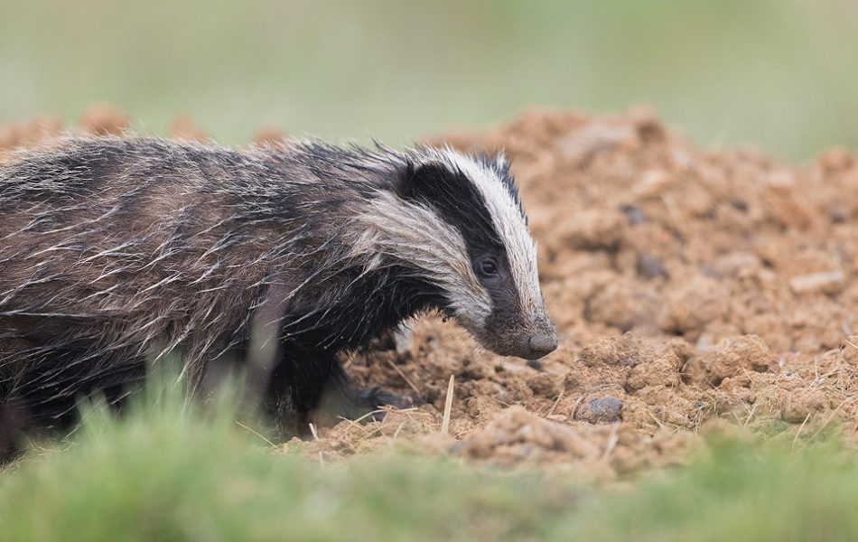 A rather bedraggled Badger Cub emerging from the sett after a heavy downpour. Derbyshire, Peak District National Park.