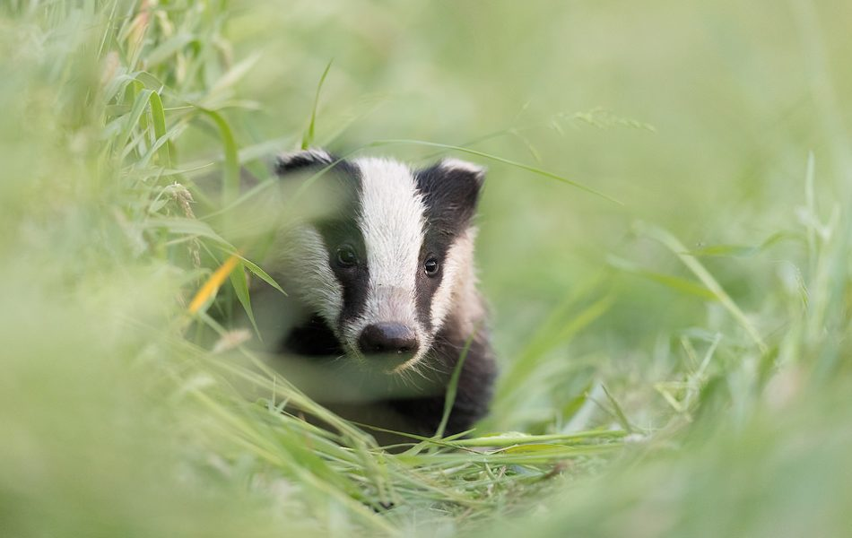 A young badger cub peering out of the long grass in a hay field. Rover, a badger cub at one of the setts I visit regularly. Whilst the other cubs don't venture far from the sett, Rover is much more confident and is usually out foraging over 1000m away, hence the name! Derbyshire, Peak District National Park.