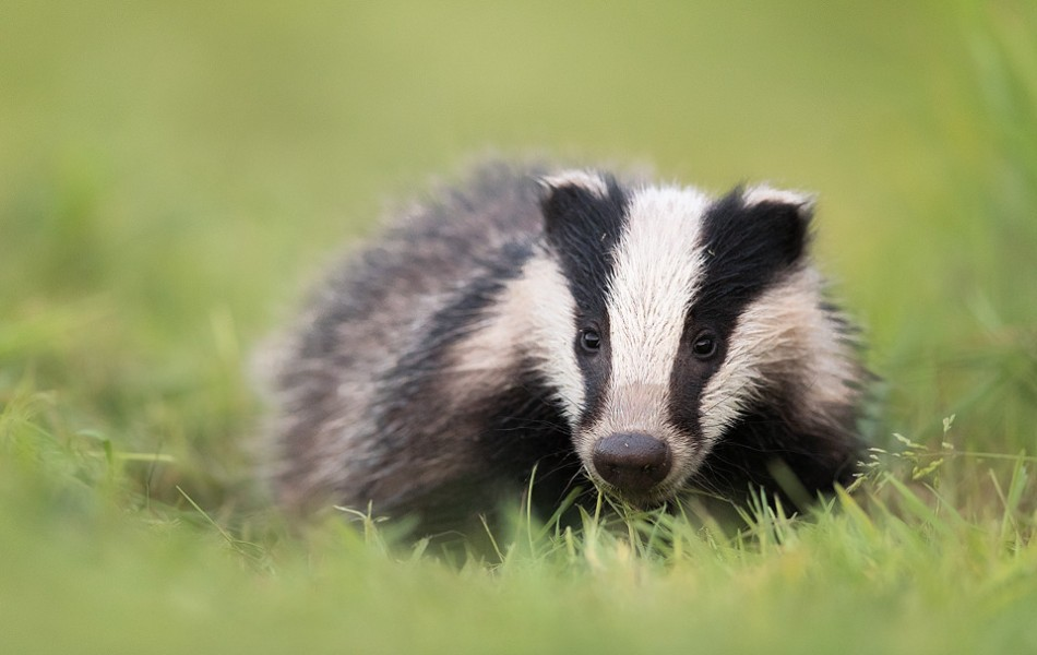 Rover, a badger cub at one of the setts I visit regularly. Whilst the other cubs don't venture far from the sett, Rover is much more confident and is usually out foraging over 1000m away, hence the name! Derbyshire, Peak District National Park.