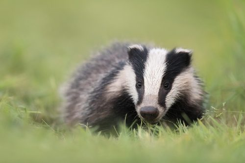 Rover the Badger Cub
