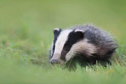 Foraging Badger Cub